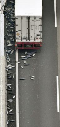 高速道路にカツオが散乱